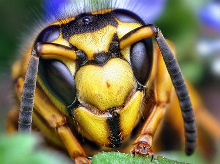 6868-800px-Face_of_a_Southern_Yellowjacket_Queen_(Vespula_squamosa)-thumb-450x336-6867.jpg