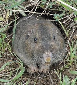 Pocket-Gopher photo