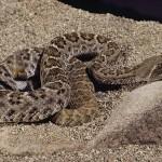 etc guy photo western diamondback rattlesnake
